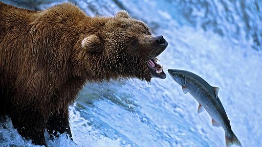 BBC Salmon Run film