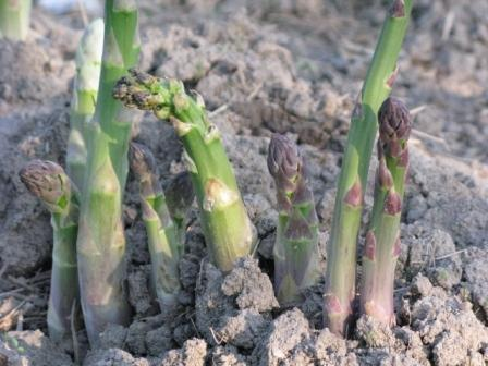 Aspargus Harvest 2009