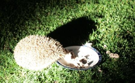 HedgehogH