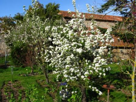 Pear Blossom