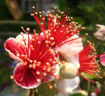 Pineapple Guava Flower