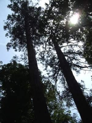 Giant redwood Sequoia trees at Domaine de Tournelay