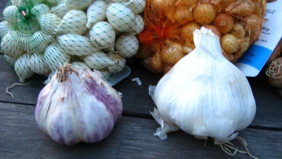 up close garlic seed